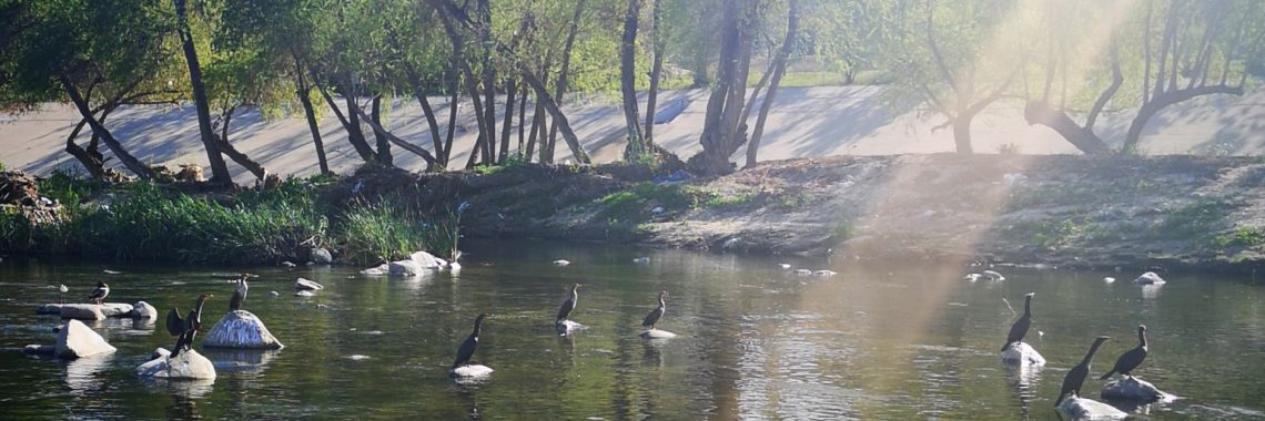 ducks on rocks in the river water, with trees and a ray of sunlight